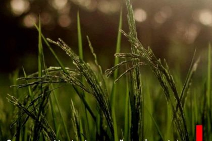عوامل موثر بر قیمت برنج ایرانی چیست؟
